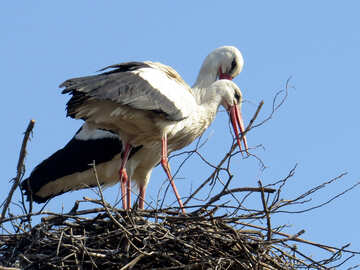 two weird birds in a stick nest but they are probably making the nest №53204