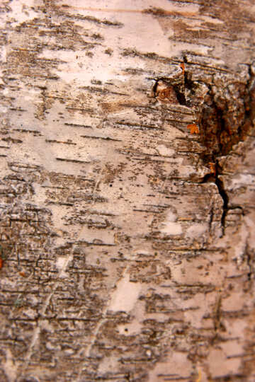 bark birch №53264