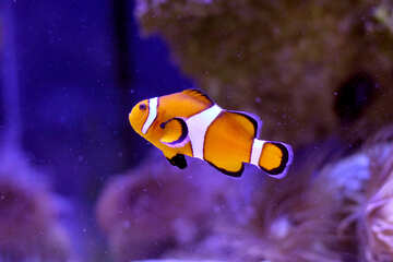 Clown fish orange nemo №53842