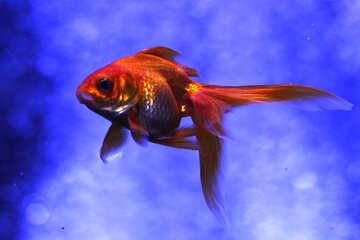 Gold Fish orange Goldfish №53929