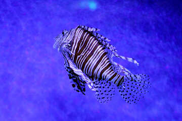 lion fish with strips and its a fish swimming №53907