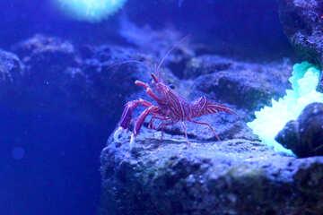 ocean crab in sea water crayfish №53753