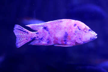 Purple fish №53938