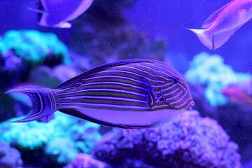 Purple fish Blue №53769
