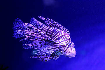 Purple lionfish underwater blue fish №53904