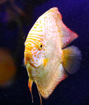 Довольно плоская круглая рыба с белой и немного желтой чешуей и темным фоном №53961