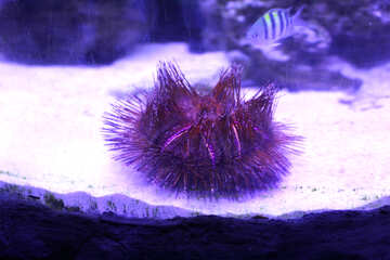 Sea Urchin purple lights №53819