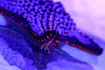 Blue and red  Ocean starfish Violet purple starfish №53876