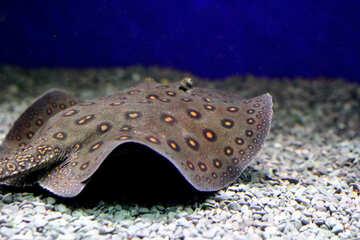 stingray fish in sea №53969