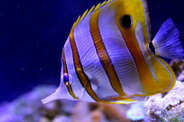 tropical fish striped №53852