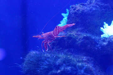 underwater shrimp lobster №53752