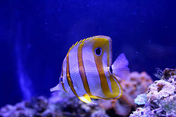 white and orange fish swimming underwater with coral in the background and blue water №53853