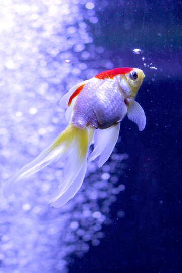 Bellissimo pesce №53788