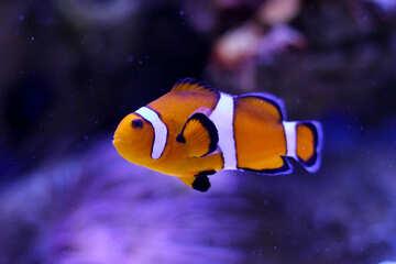 Pesce pagliaccio №53839