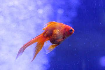 gold fish №53932