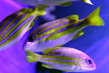 3 striped fishes magenta and green swimming fish №53925
