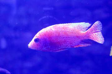 Blue Tinted Orange Fish in water aquarium №53941