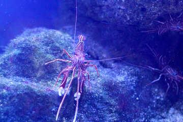 crayfish lobster underwater №53754