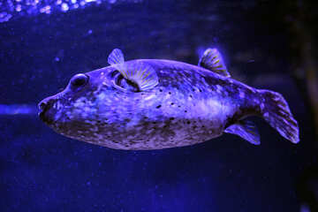 Large fish in purple lighting №53847