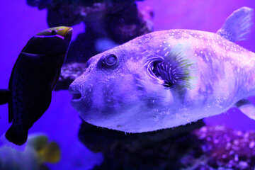 purple blow fish №53888
