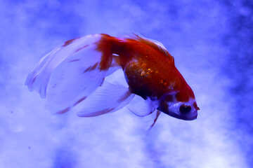 A red and white goldfish №53930