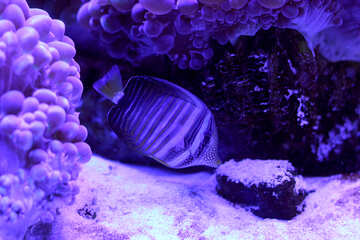 Salt water fish swimming in coral purple №53779