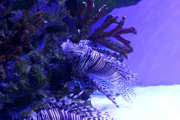 Fish in the see The image is purple sea lion fish №53898