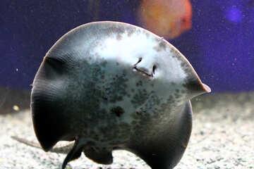 stingray fish in sea №53955