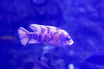 A tropical fish swimming ocean №53940