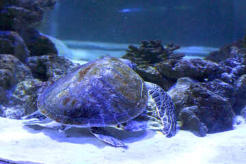a turtle in the ocean Sea Shell №53803