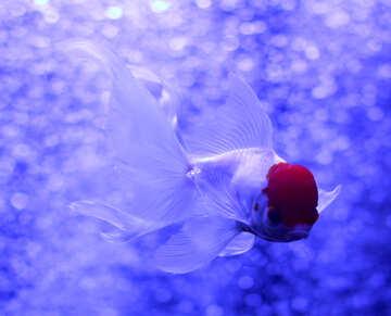Pesce bianco con testa rossa №53927