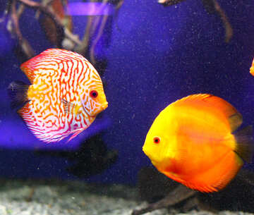 two fish,one orange and yellow, the other is red and white stripped with some yellow tints, the background is dark purple №53974