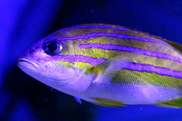 a fish that is purple and yellow with a blue background blue gold swimming №53923
