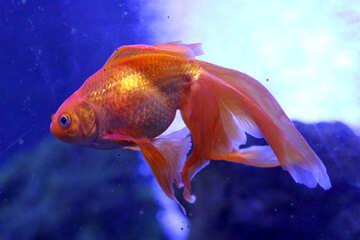 A golden fish goldfish №53931