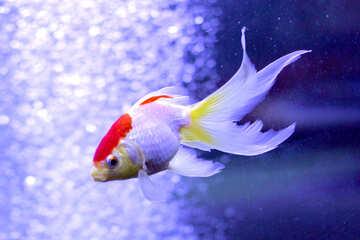 Goldfish swimming fancy fish №53789