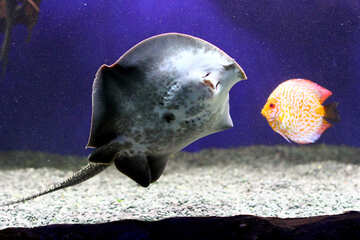 stingray with discus fish №53967