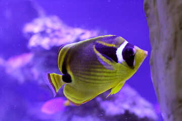 a yellow and purple fish №53765