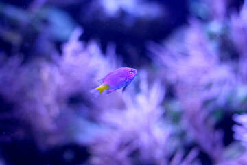 purple fish the sea №53892