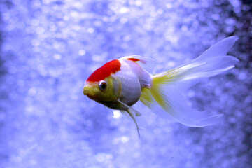 red and yellow fish on blue background №53790