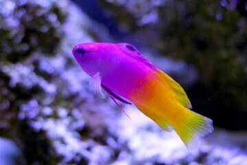 Small purple and yellow fish №53843