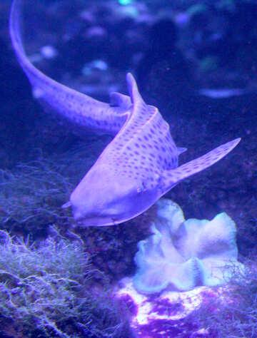 Squalo tigre pesce viola №53831