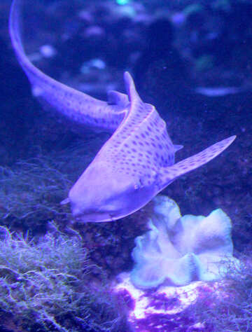 tiger purple fish shark №53831