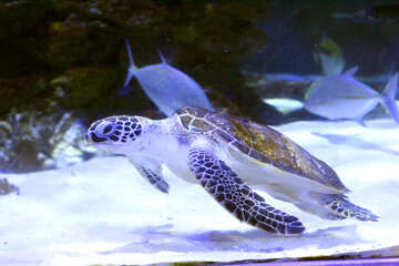 Sea turtle swimming in the ocean blue №53804