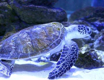 turtle purple in ocen swimming Sea №53879