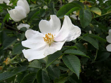 Wonderful flowers white №53420