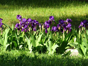 flowers, grass and Leaves Purple iris №53399
