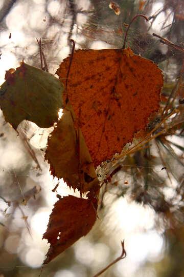 orange leaf №53284