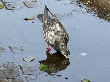 Pigeon drinking water №53400