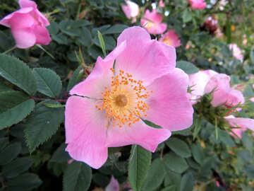 Pink flower №53437