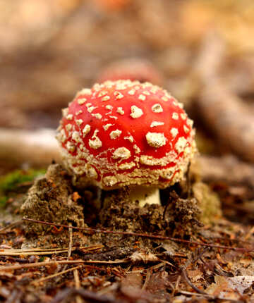 Red spotted Mushroom №53271